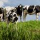 Efectos-in-vivo-y-postmortem-de-los-antioxidantes-en-el-ganado